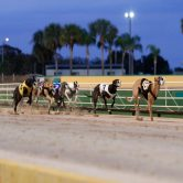 Simulcasting Greyhounds